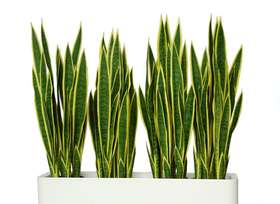 Sanseveria trifasciata fence 90 cm green yellow